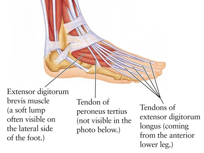 Structure of Tendons Image - PRP